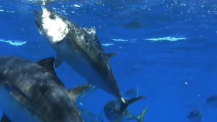 2000元一斤的蓝鳍金枪鱼刺身, 看看是海里捕捞的全过程