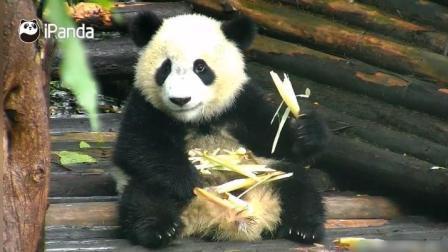 萌萌的熊猫宝宝在吃东西