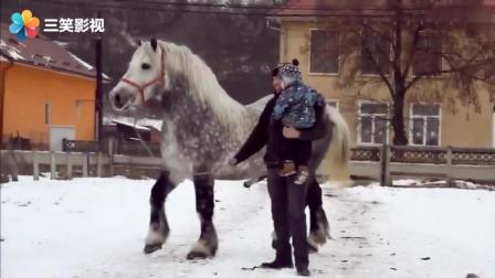 主人拉着麒麟马配种 身材魁梧长的像麒麟的北方旱马