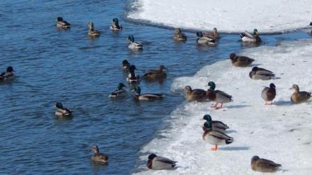 为什么零下20°C的水面, 只要有鸭子游就不会结冰?