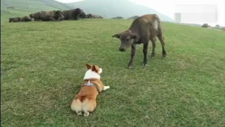柯基看见了一群牛, 激活了牧牛天性, 你这小短腿能行嘛?