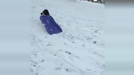 厉害了我的狗自己会玩滑雪