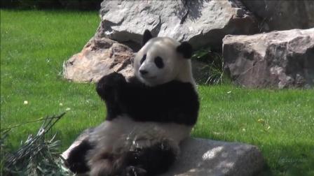 熊猫宝宝躺石头上晒太阳吃苹果