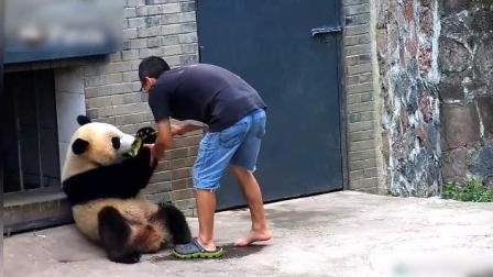 熊猫宝宝也想穿爸比的拖鞋