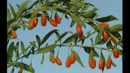 枸杞种植技术视频(枸杞种植收益)高产枸杞栽培技术