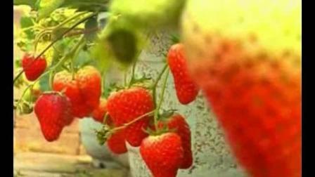 草莓种植技术 品种选择及介结 草莓栽培管理技术要点及丰收关键