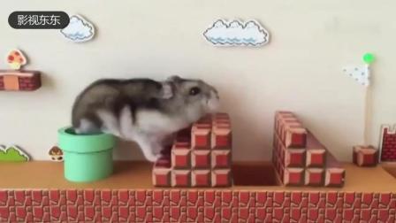 给仓鼠做了一个玩具 , 仓鼠玩疯了
