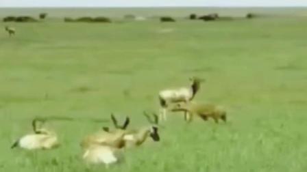 落单羚羊被几十只鬣狗围攻, 最后的结果是我们没想到的!