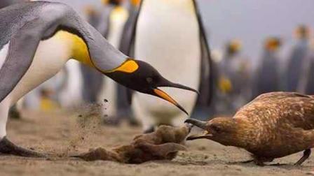 海燕竟想猎杀企鹅宝宝, 旁边这位阿姨当起了保镖, 简直太有爱了!