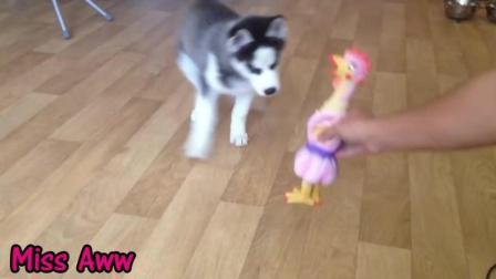 萌萌的小哈士奇对玩具小鸡发狠