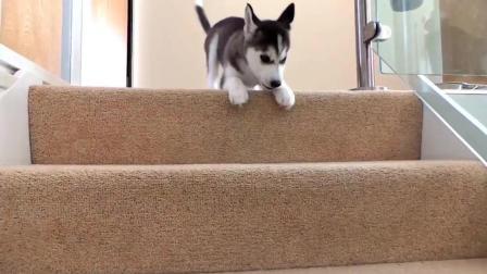 萌萌的小哈士奇学着下楼梯