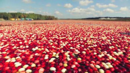 年产80万吨的美国蔓越莓, 铺满水面来采收, 俯瞰皓若星空!