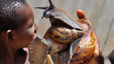 非洲大蜗牛在别国是宠物, 在非洲是食物, 已经快被吃灭绝