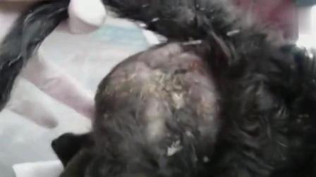 拯救一只身患寄生虫的小狗狗, 肚子伤口都裂开了, 看着就让人心疼