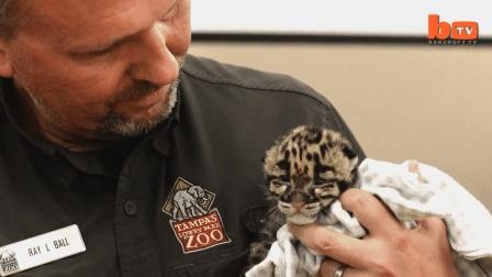 弗洛里达动物园诞生罕见云豹宝宝, 世界珍稀的大型猫科动物之一