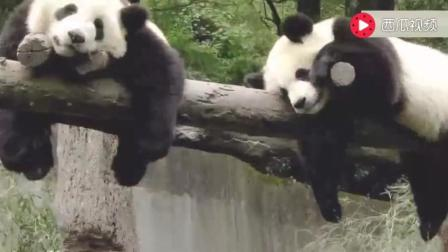 美国饲养员奶妈护送熊猫回中国! 分别时抱着熊猫不舍的哭了