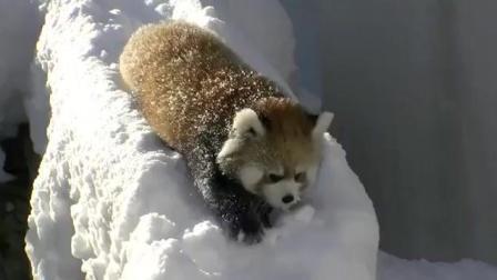 小熊猫爱玩雪玩的太开心了