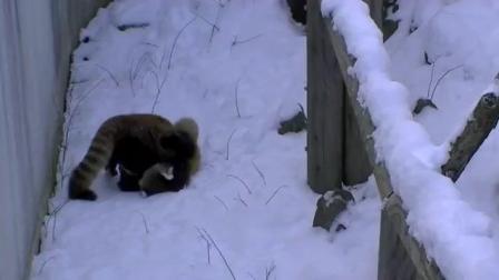 小熊猫在雪地里玩的好开心
