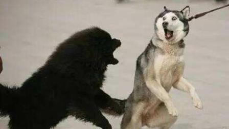藏獒和狼打架视频