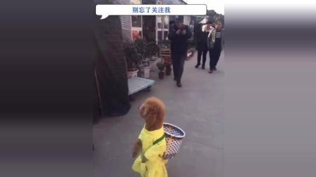 这只泰迪要成精了, 穿着旗袍带金毛去买菜, 结果路人都围着泰迪转