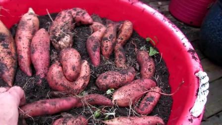 """红薯虽然被称为""""抗癌之王""""但是和它一起吃, 就相当于吃""""砒霜""""!"""