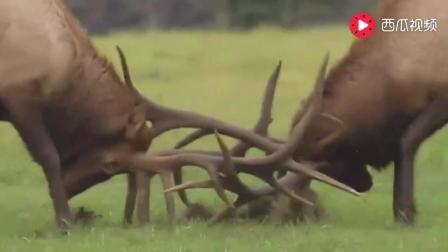 动物繁殖权争夺战的号角响彻大地 一场传奇的战斗开始了