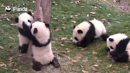 熊猫宝宝抱着树不让别的熊猫趴
