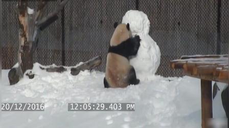 萌萌的熊猫站在了雪人头上撒野