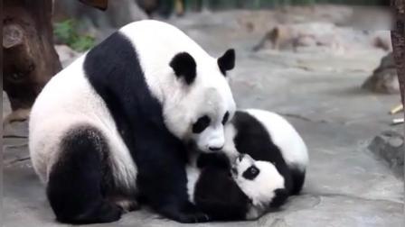 熊猫麻麻跟熊猫宝宝一起玩耍