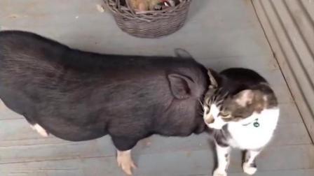 搞笑动物: 可爱的猫咪就这么被狗狗小猪欺负了