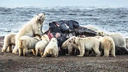 北极熊捕捉海豹失败, 却意外得发现一头鲸鱼尸体, 够吃几天了