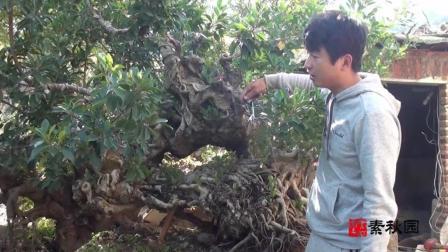 大棵榕树桩盆景, 日常养护和清理技巧