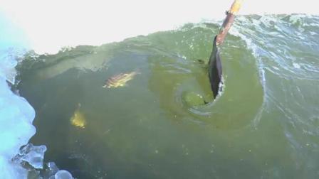 用力划水, 把冰下的鱼划出来