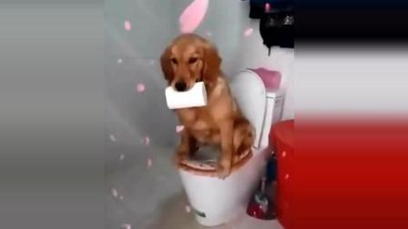 你家金毛犬会用马桶拉粑粑? 这未必是好事