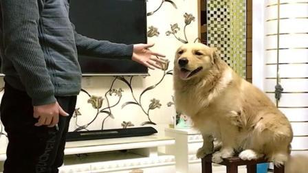金毛两岁生日, 主人献歌一曲, 狗狗吓得撒腿就跑