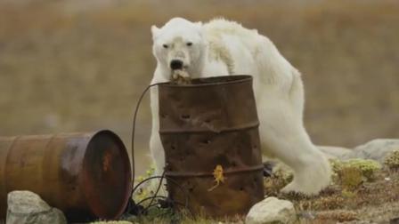 身残志坚 北极熊瘦骨嶙峋 身体残疾却仍在地上捡垃圾