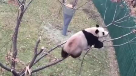 呆萌的大熊猫爬树, 自己多重心里没点数吗