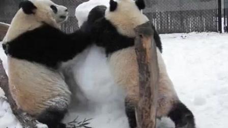 熊猫宝宝爱玩雪人玩的还很high