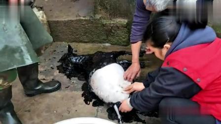 实拍农村人杀羊, 拔毛完全不费力, 一浇一掰就搞定