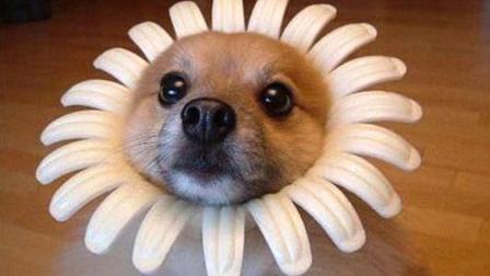 狗狗超级搞笑视频: 小编第一个就忍不住了, 看看你能坚持几个?