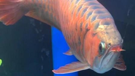 这条红龙鱼价值80万, 身价堪比一套房