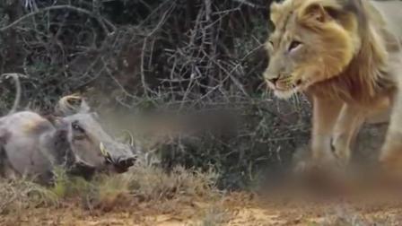 疣猪二度挑衅狮子 不幸成为食物