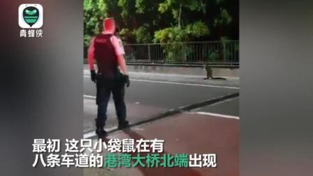 与警察飙车? 悉尼一袋鼠海港大桥狂奔5公里 警方封锁大桥抓捕