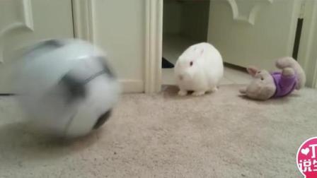 和狗狗相比, 兔子踢球更好玩儿, 快来看!