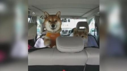 出去玩莫名的兴奋 柴犬兄妹轮流向前座探头