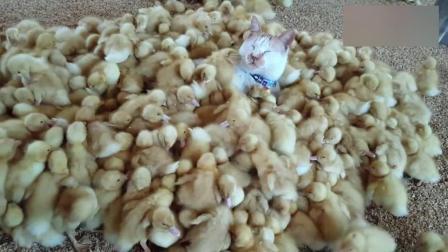 天气冷了, 猫咪就跑到小鸭子群里睡觉, 纯天然羽绒被啊!