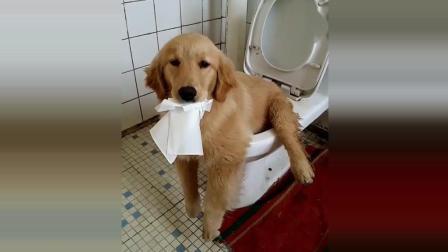 我家的狗狗会自己蹲马桶, 自己便便, 自己擦屁屁, 厉害吧