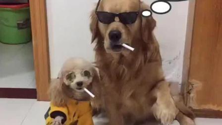 金毛叼着烟拿着刀混社会 这气势太强大了 泰迪抽烟反应亮了