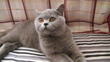 这只猫可以说很戏精了, 配音无敌了!