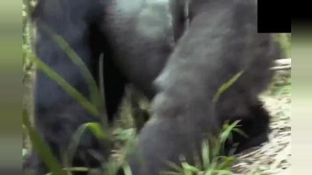 再强大的动物也会寂寞, 大猩猩也不另外所以有了下面的举动